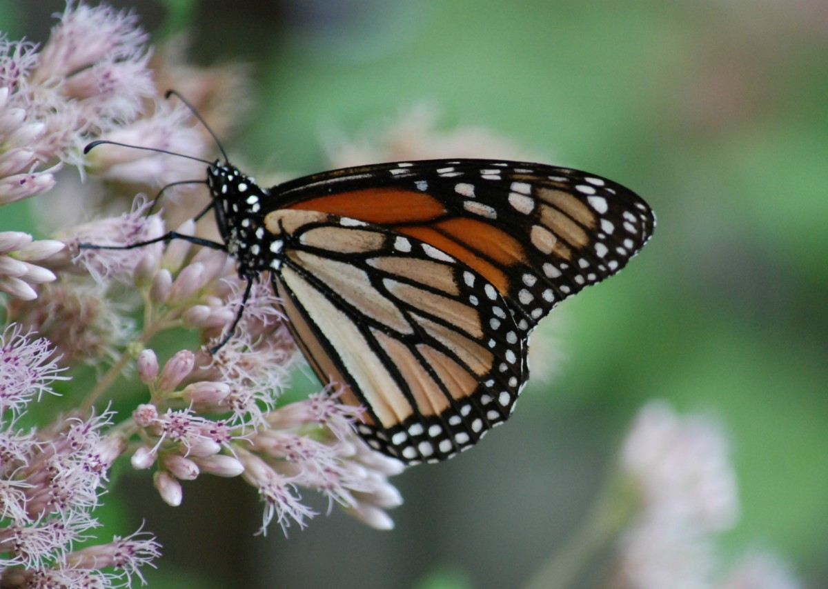 Now, a beautiful Monarch in our garden feeding on Milkweed.