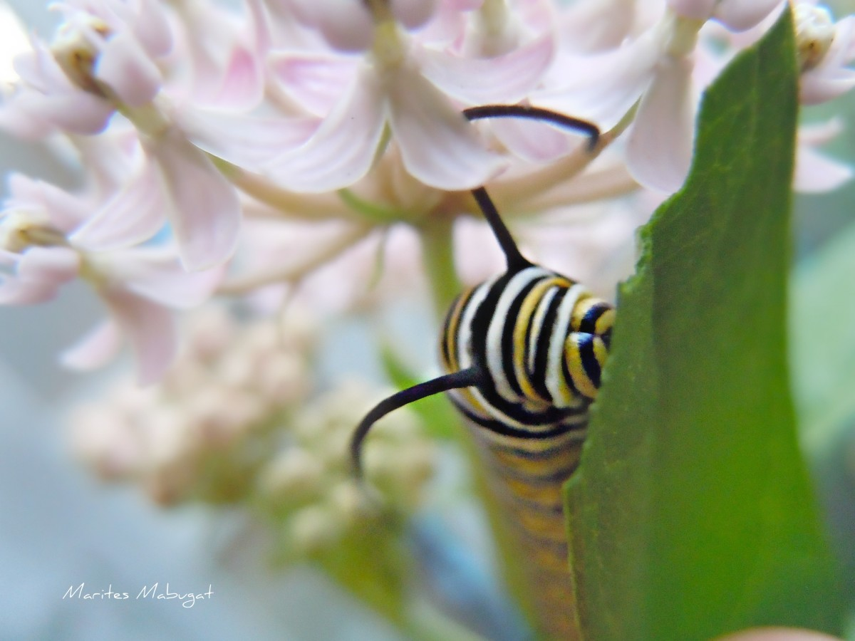 The first appearance of a Monarch caterpillar in our backyard garden. It a feeling of excitement since our garden's purpose was to plant flowers that would attract butterflies.