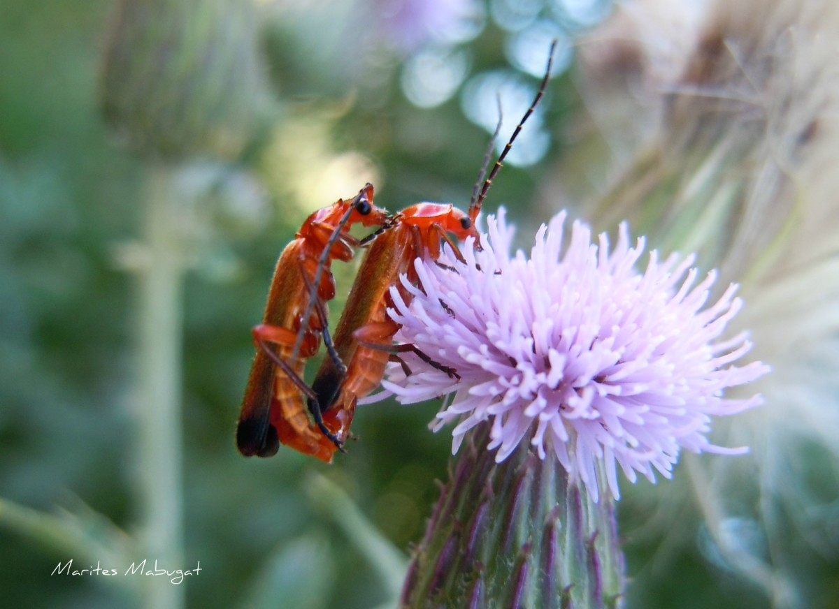 Milkweed bugs on a common purple thistle.