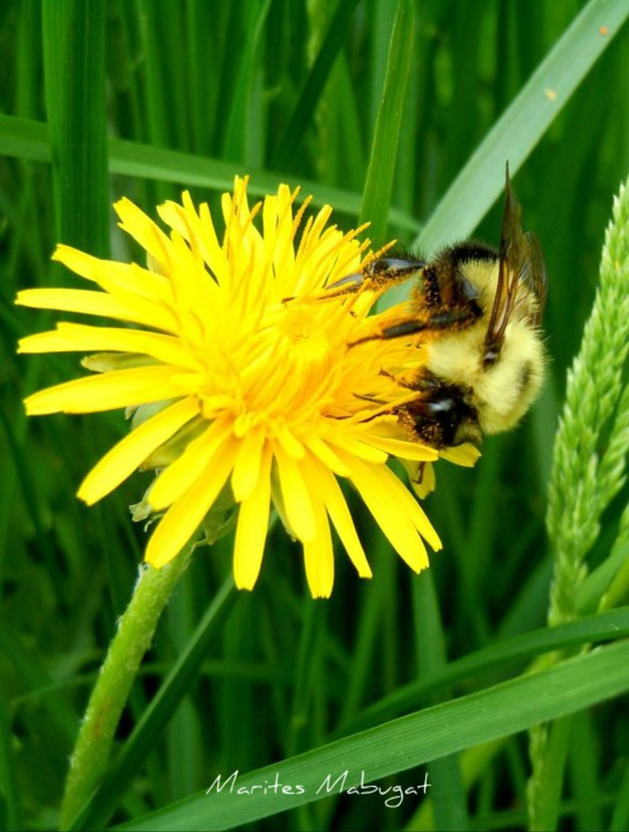 Bumble bees on a dandelion