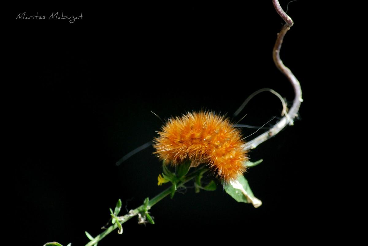 Bright orange hairy moth caterpillar