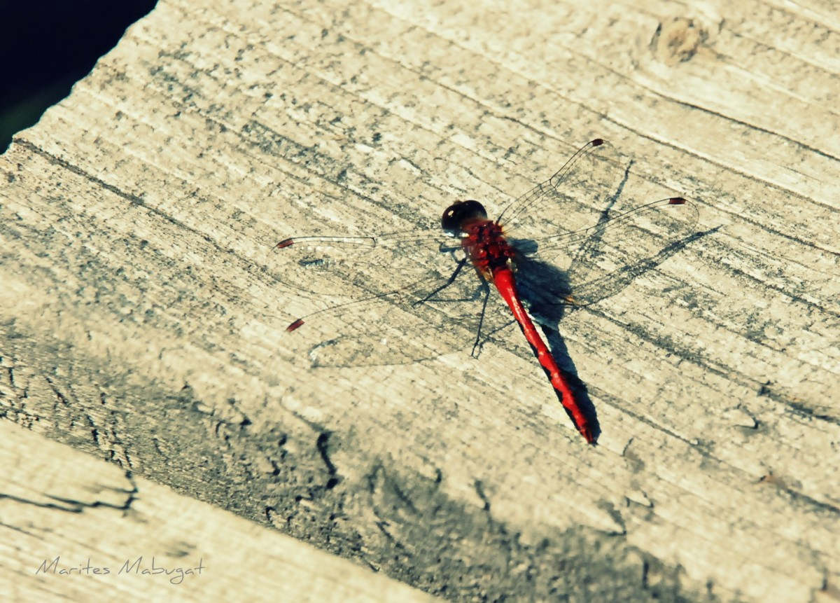A male Ruby Meadowhawk Dragonfly, on the boardwalk in the wetlands area of Algonquin Provincial Park in Whitney, north Ontario.