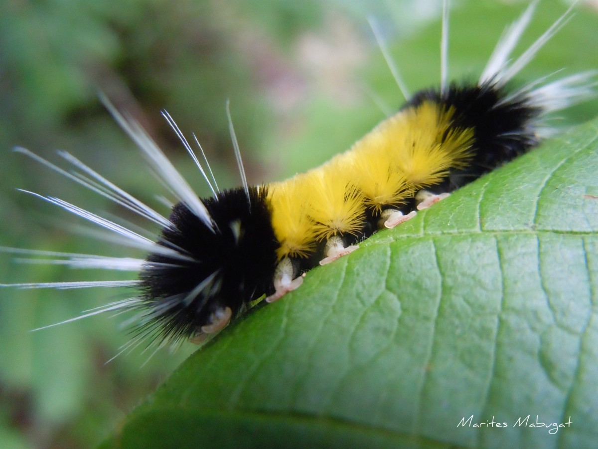 Some fuzzy caterpillars are harmless; others have prickly thin hair that could cause rashes to swell if not treated immediately.