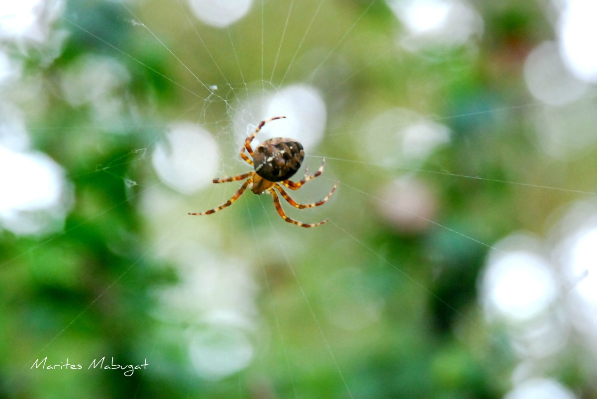 The spiders are like campers. Campers roll up their tents when they are done; the spiders do not leave old webs behind, their webs are neatly rolled and chewed.