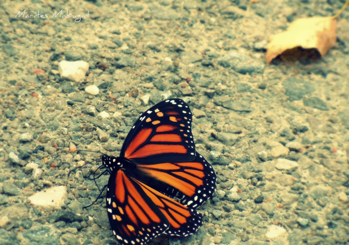 A lost crippled Monarch on a hot ground in Algonquin.