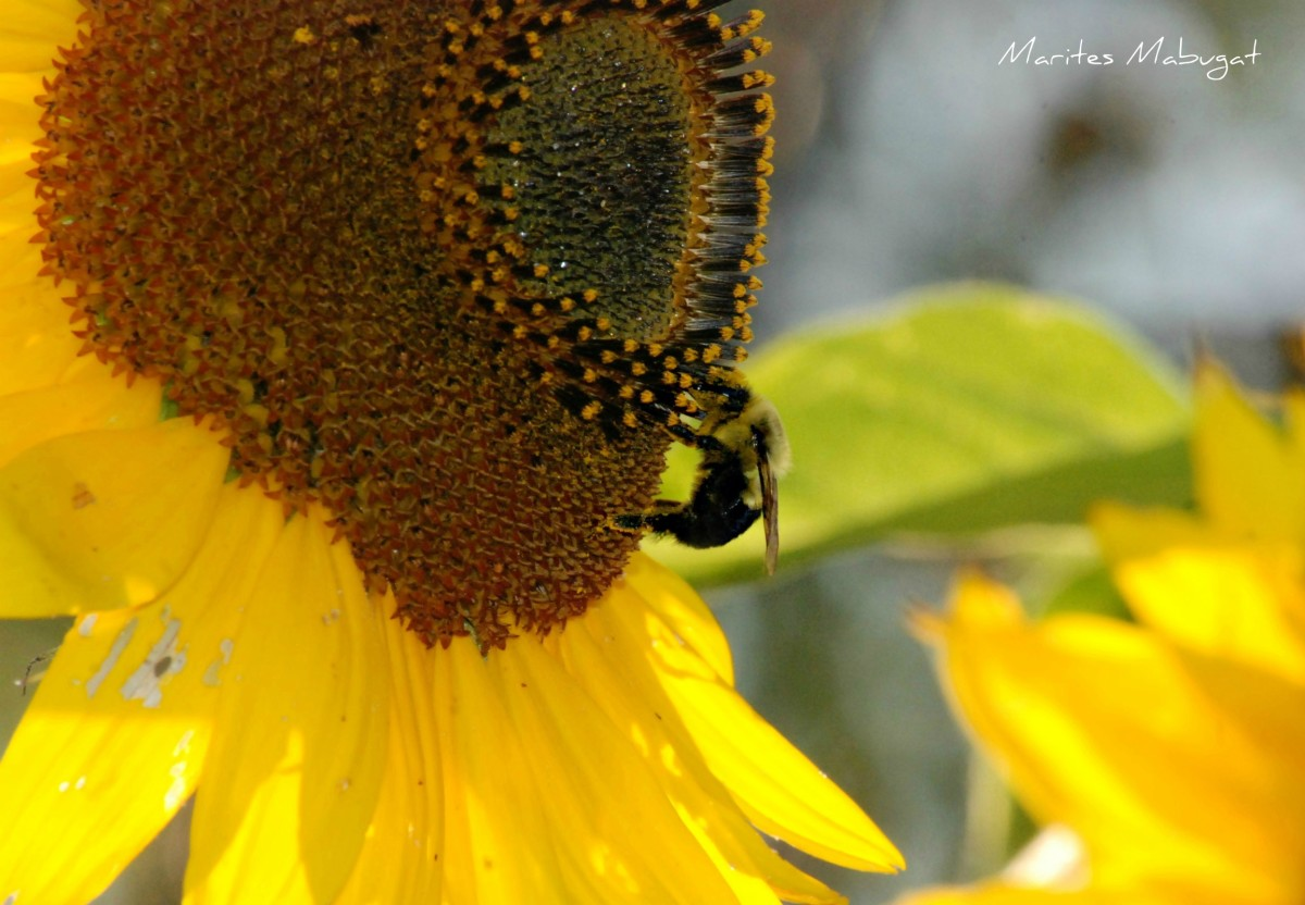 A bumble bee's sunshine delight from a sunflower.