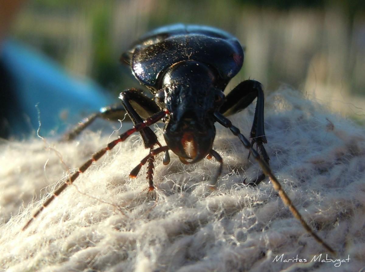 Carabidae or Ground beetle