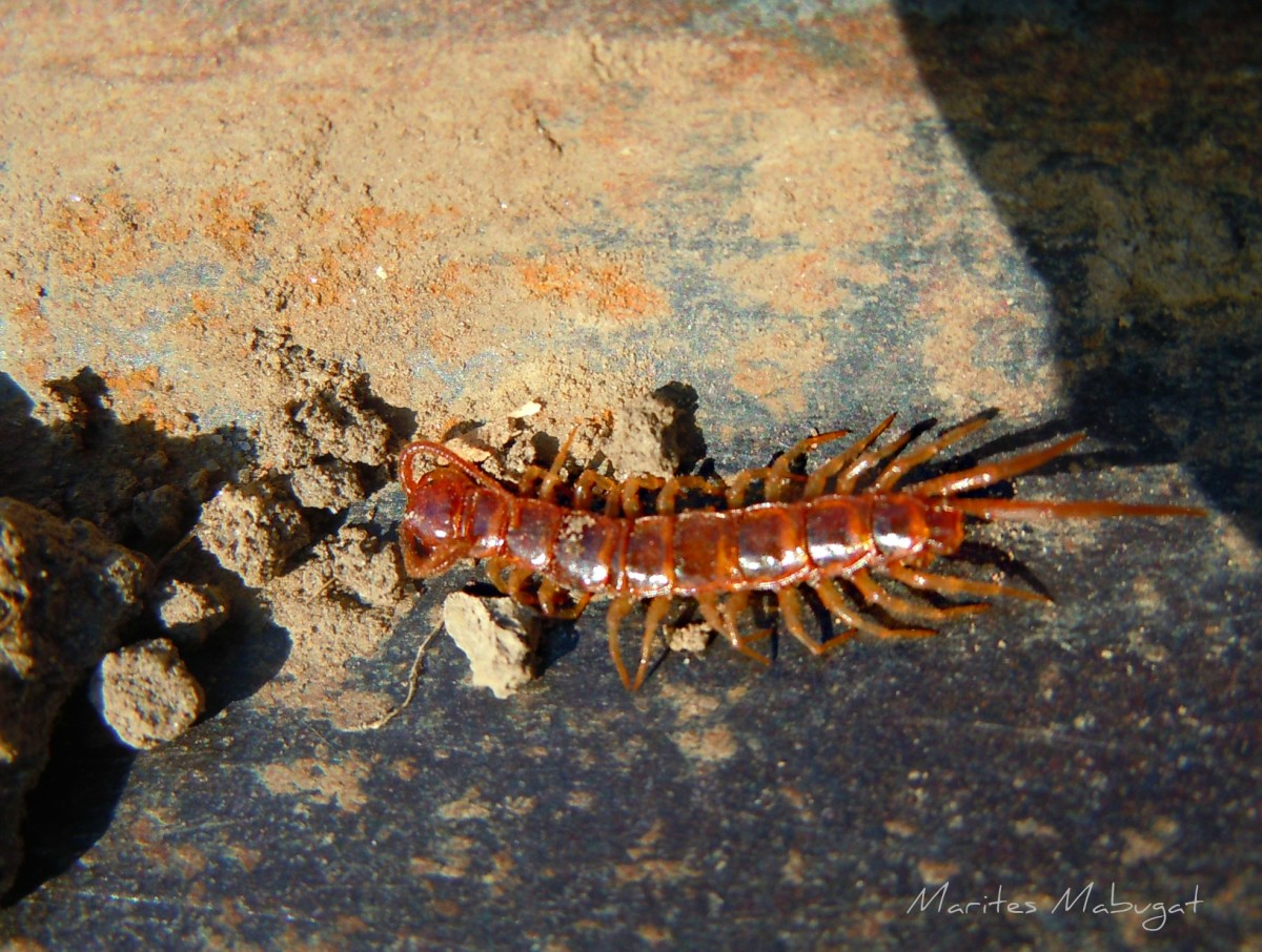 A red centipede bite is mean and stings from its stinger with venom just similar to a scorpion.