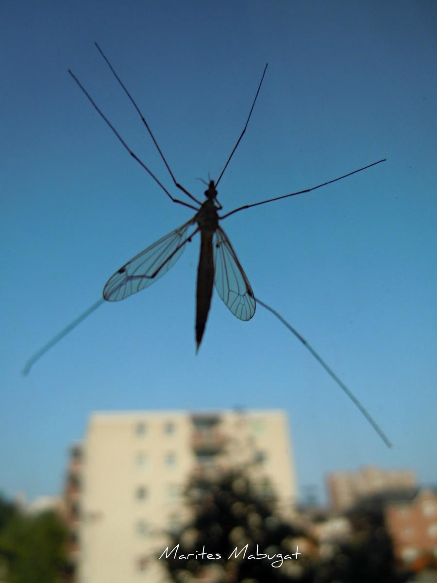 A jumbo mosquito
