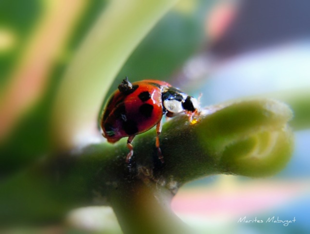 A red-orange lady beetle in my kitchen.  How the Ladybug got its name: During the Middle Ages, swarms of pests were destroying crops, so farmers prayed to the Virgin Mary for help. Soon after, ladybugs came and ate the bad pests and saved the crops.