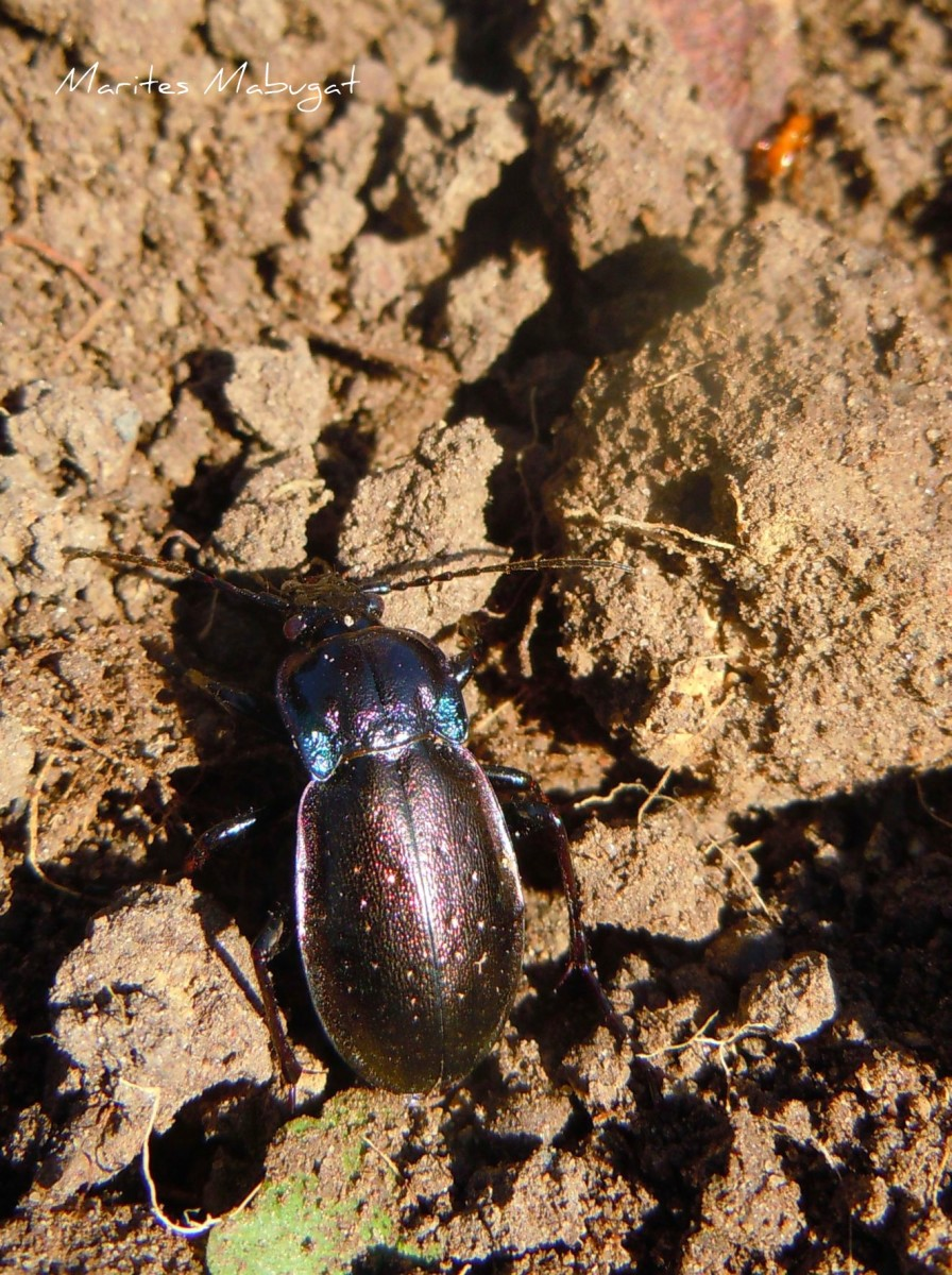 Ground beetles are specialist predators of snails. These large beetles are also flightless.