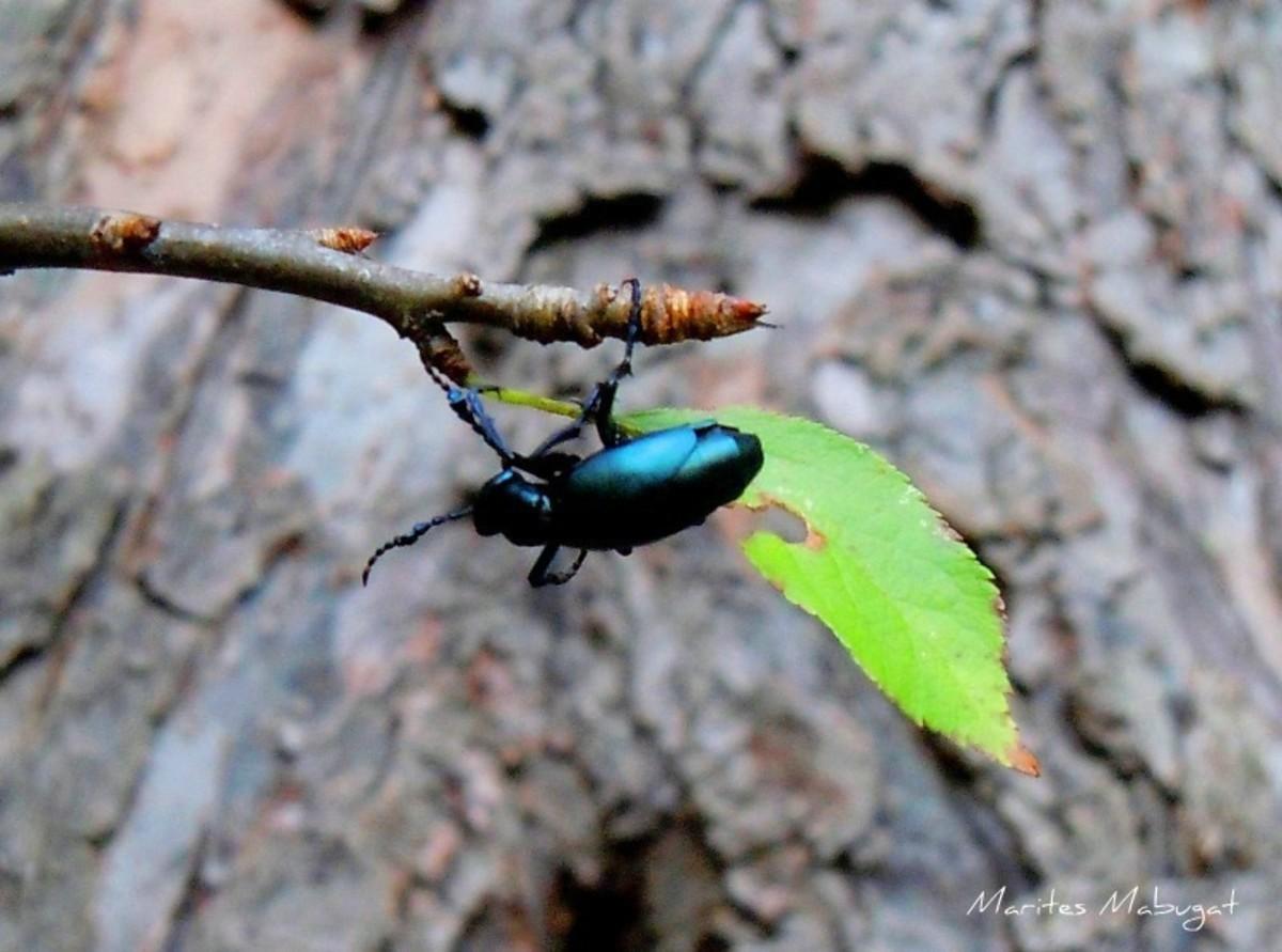 Park beetle