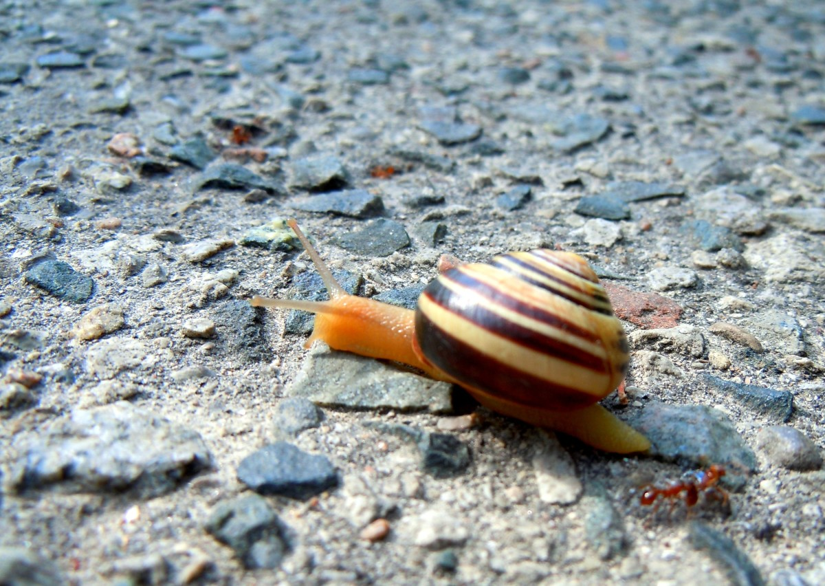 This little snail tried to cross the other side of the trail path. Just nearby, many other small snails were squashed by bikers using the trail. So, we  picked this slow fella safely out of the way.