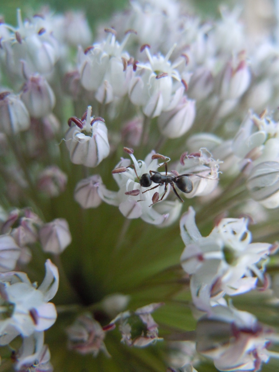 Black ants love tasty nectar like this one of a garlic flower.