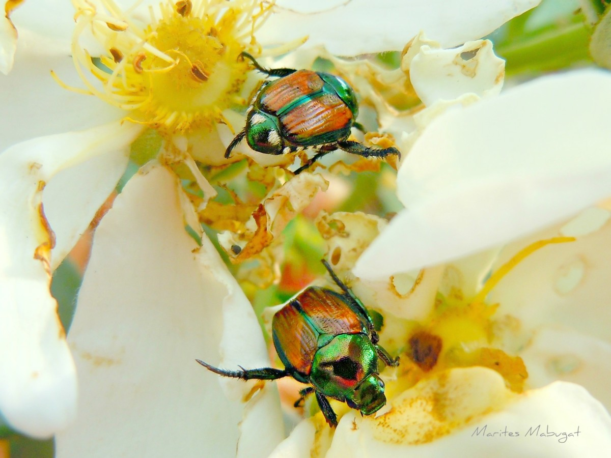 Bright coloured Japanese beetles. Japanese beetles are destructive plant pests. Among the plants most commonly damaged are rose, grape, crabapple, and beans.
