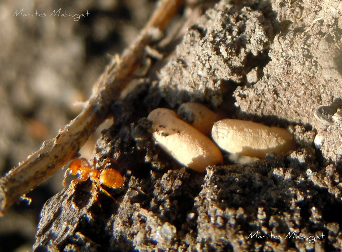 A young red ant. Ants also store their eggs underground.