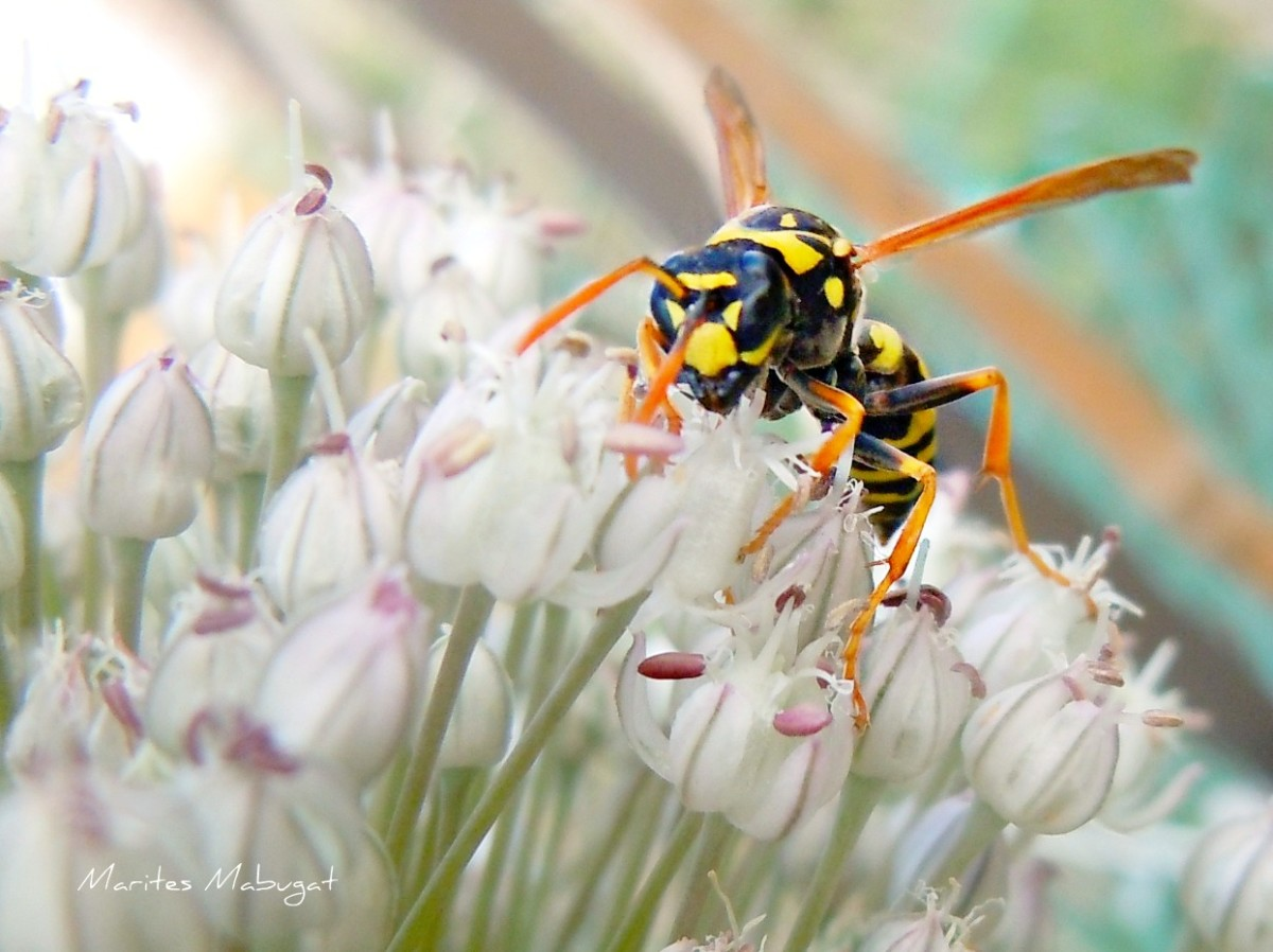 The most common wasps are yellow jackets, bald faced hornets and paper wasps.