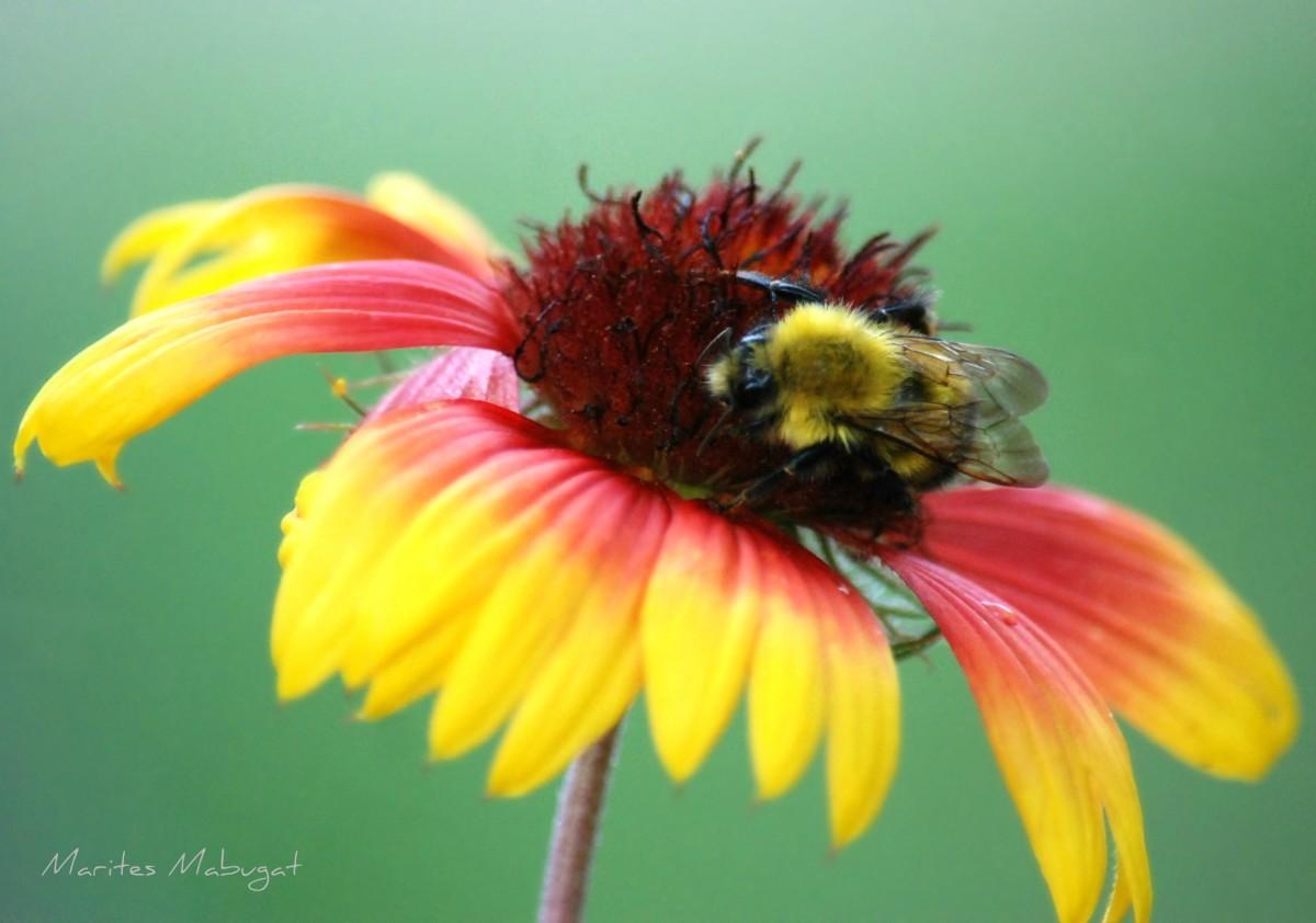 A bumble bee in Great Hawk Lake.