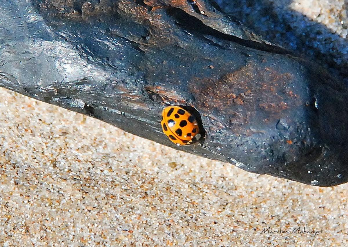 A Harlequin ladybug found on the beach.