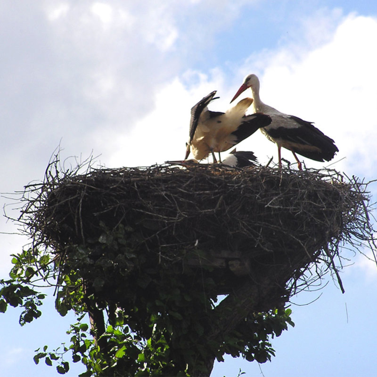 How do birds learn to build their nests?