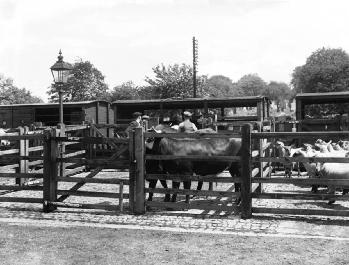 Livestock dock, Lincoln, England 1935 - sheep and cattle await the next move
