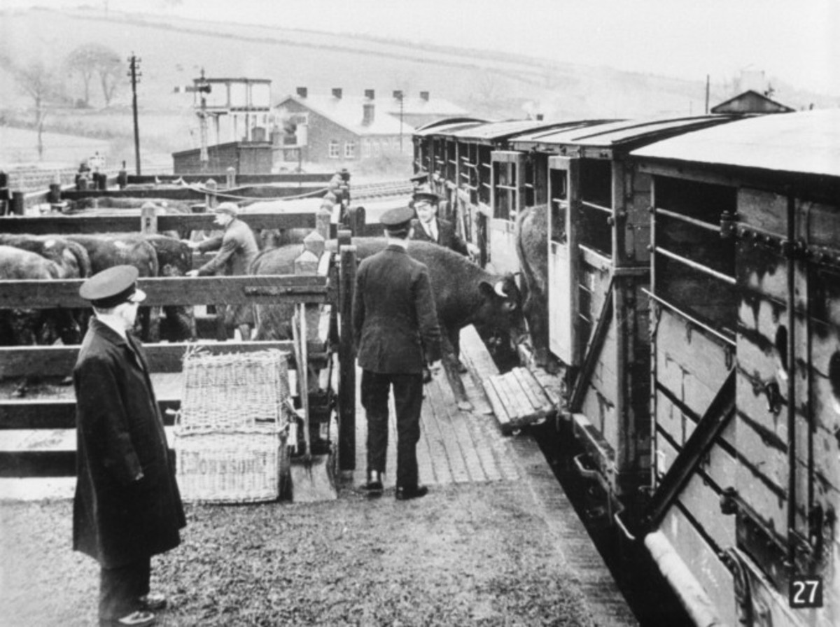 A countryside cattle dock - livestock being loaded