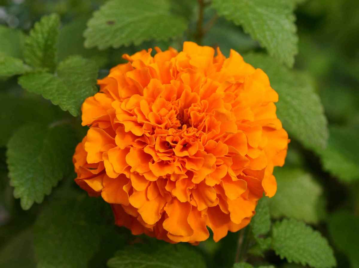 Marigold flowers for compress.