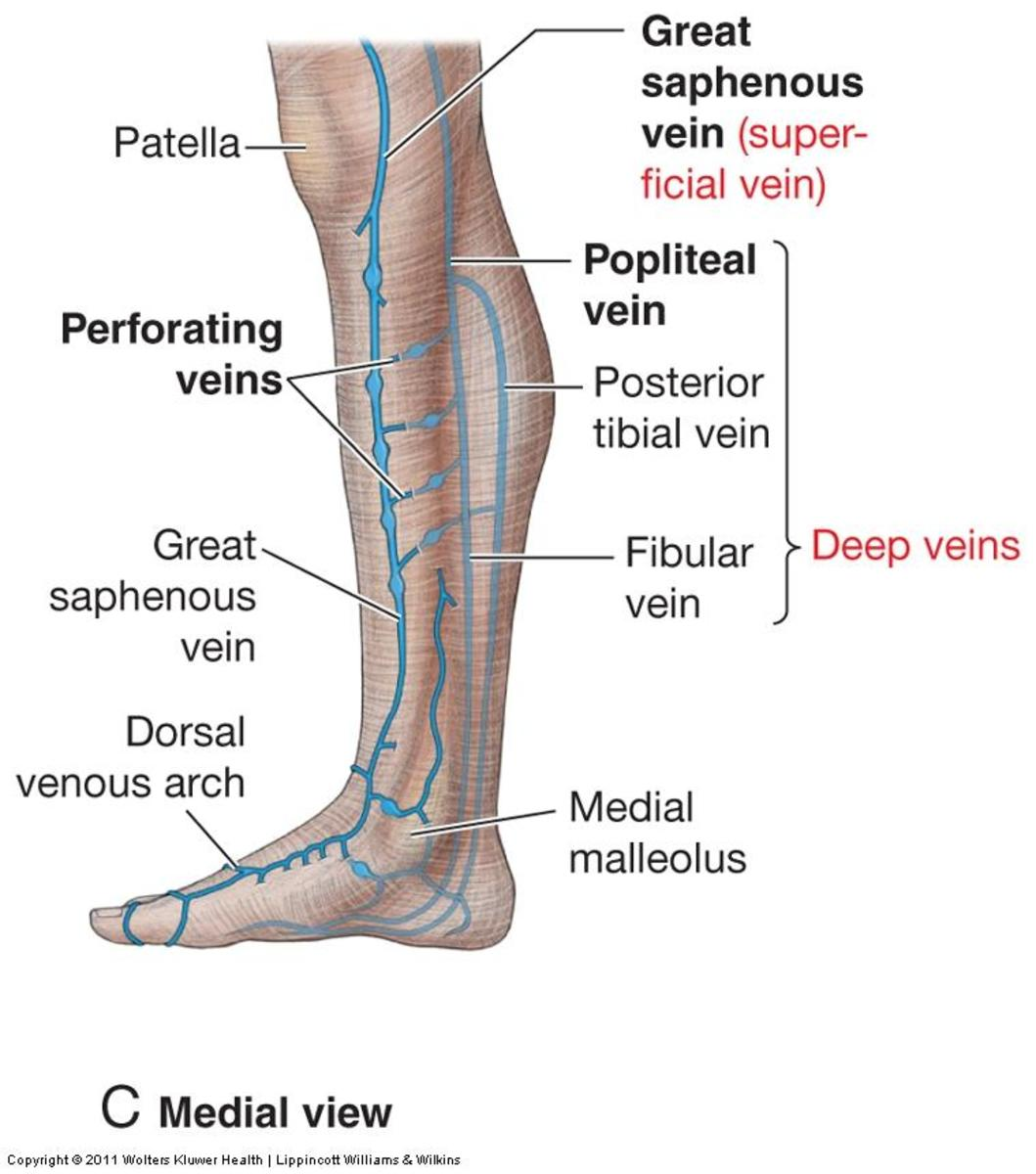 Diagram showing The saphenous veins and perforator veins.
