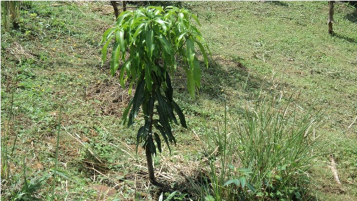 A young mango tree.