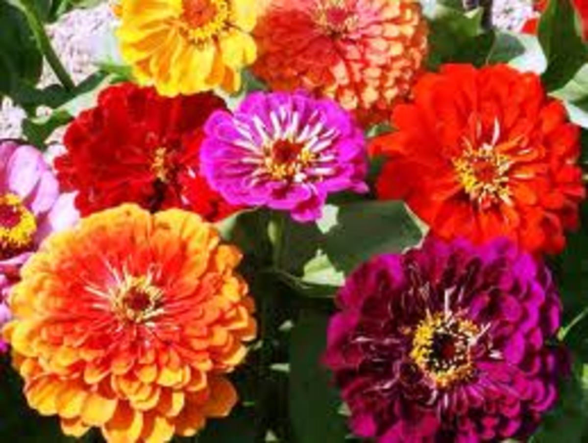how-to-grow-annuals-from-seeds
