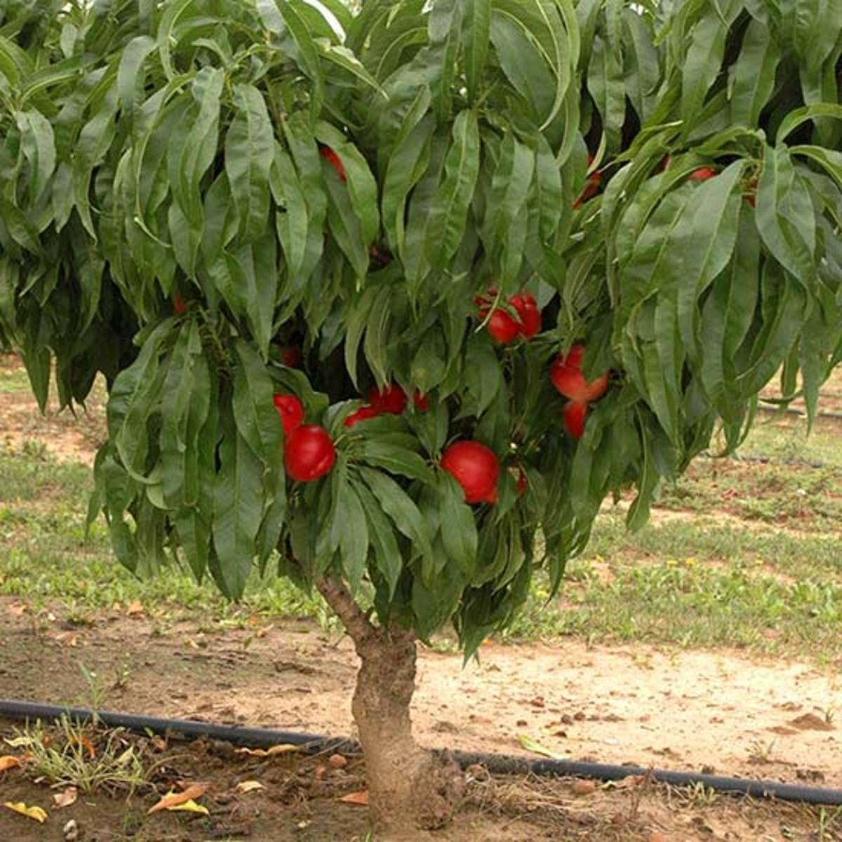 Facts About the Nectarine Tree
