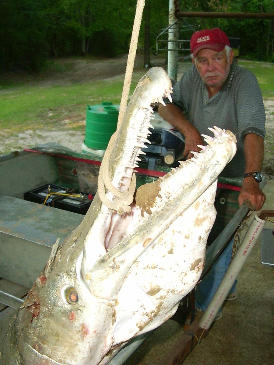 The Alligator Gar A Living Dinosaur Hubpages