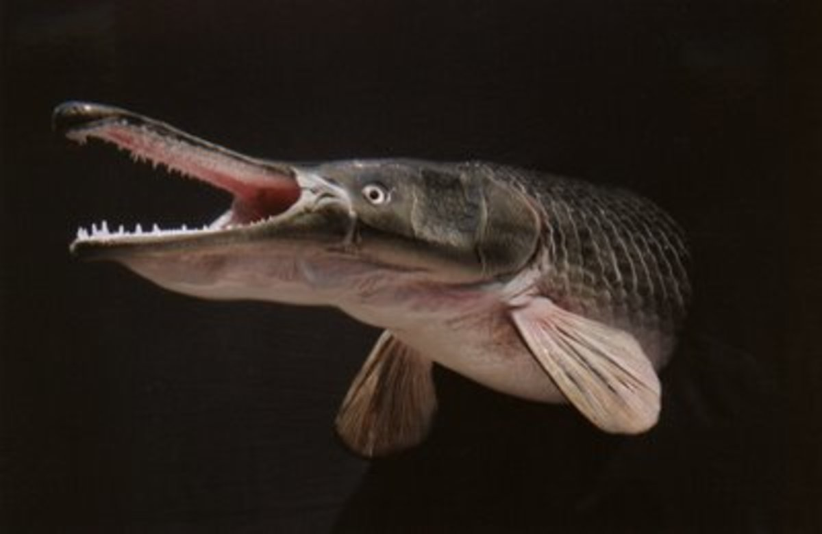 The Alligator Gar - A Living Dinosaur