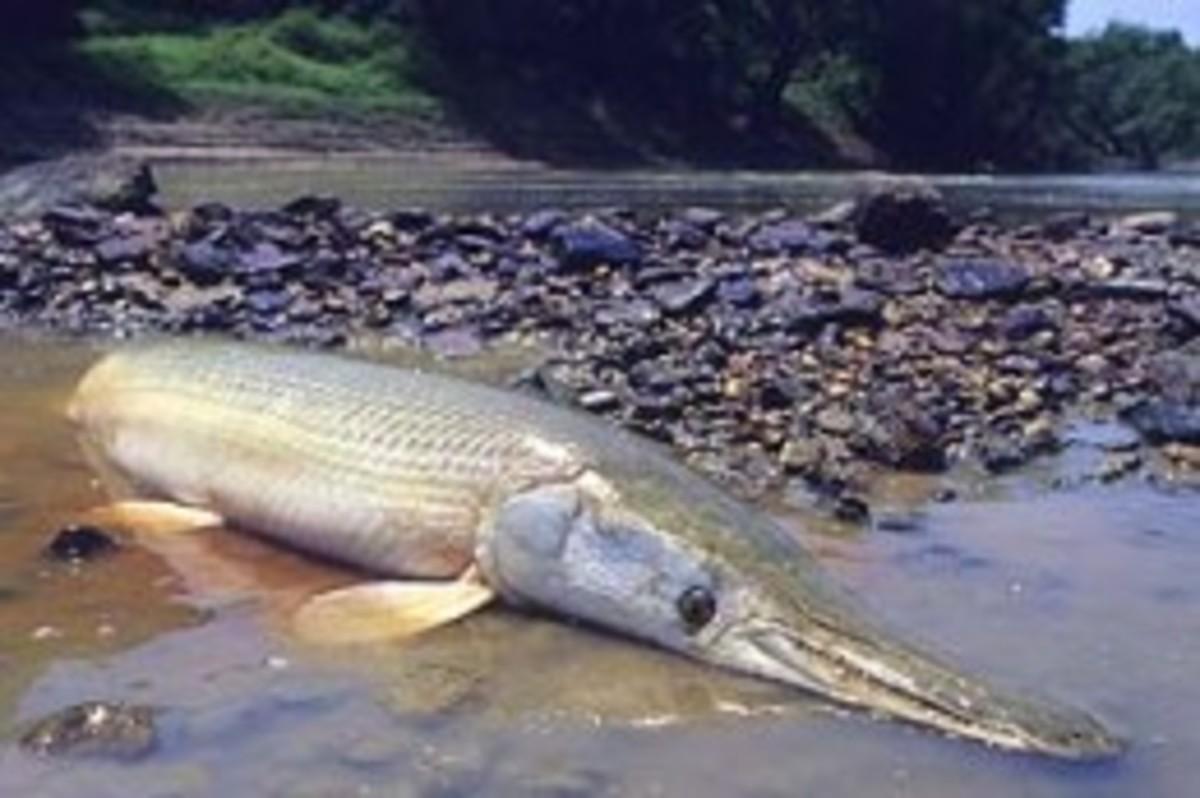 how to clean alligator gar