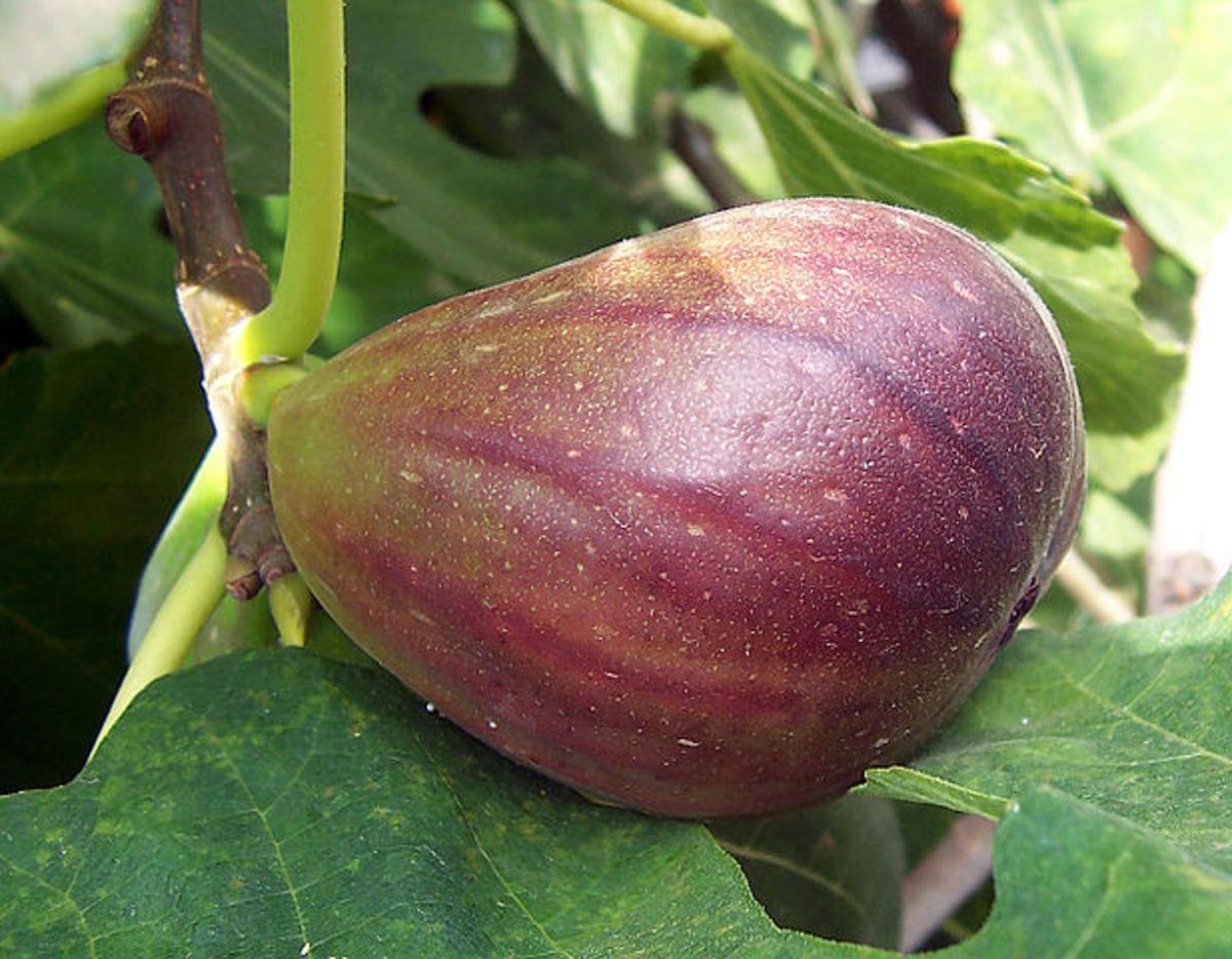 A fig on a fig tree.