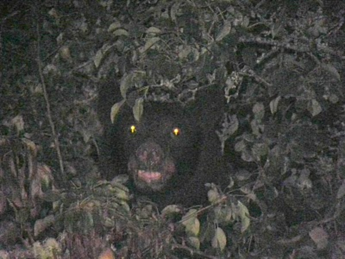 Black bears are often cited as candidates for Sasquatch misidentification. Their eyes shine with a distinctive reddish hue at night.