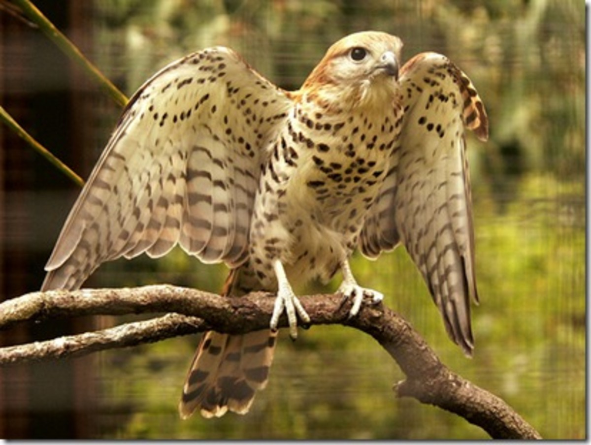 The Mauritius Kestrel went through a bottleneck of just four individuals in 1974 - making it the rarest bird in the world. According to the Mauritian Wildlife Foundation, there are around 400-500 individuals in the wild today