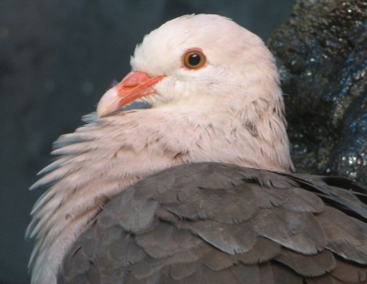 The Mauritius Pink Pigeon. Due to habitat degradation and the introduction of non-native predators such as rats, the population went through a bottleneck of 12 individuals in 1986. Current estimates place the population size at over 470