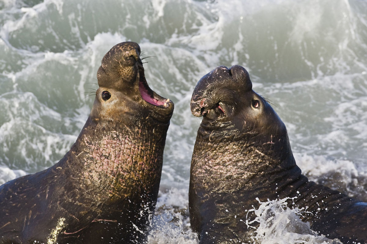 Northern Elephant Seals in  California were once hunted nearly to extinction - the species went through a bottleneck of 20 individuals. Bottlenecks have the potential to massively reduce genetic variation.