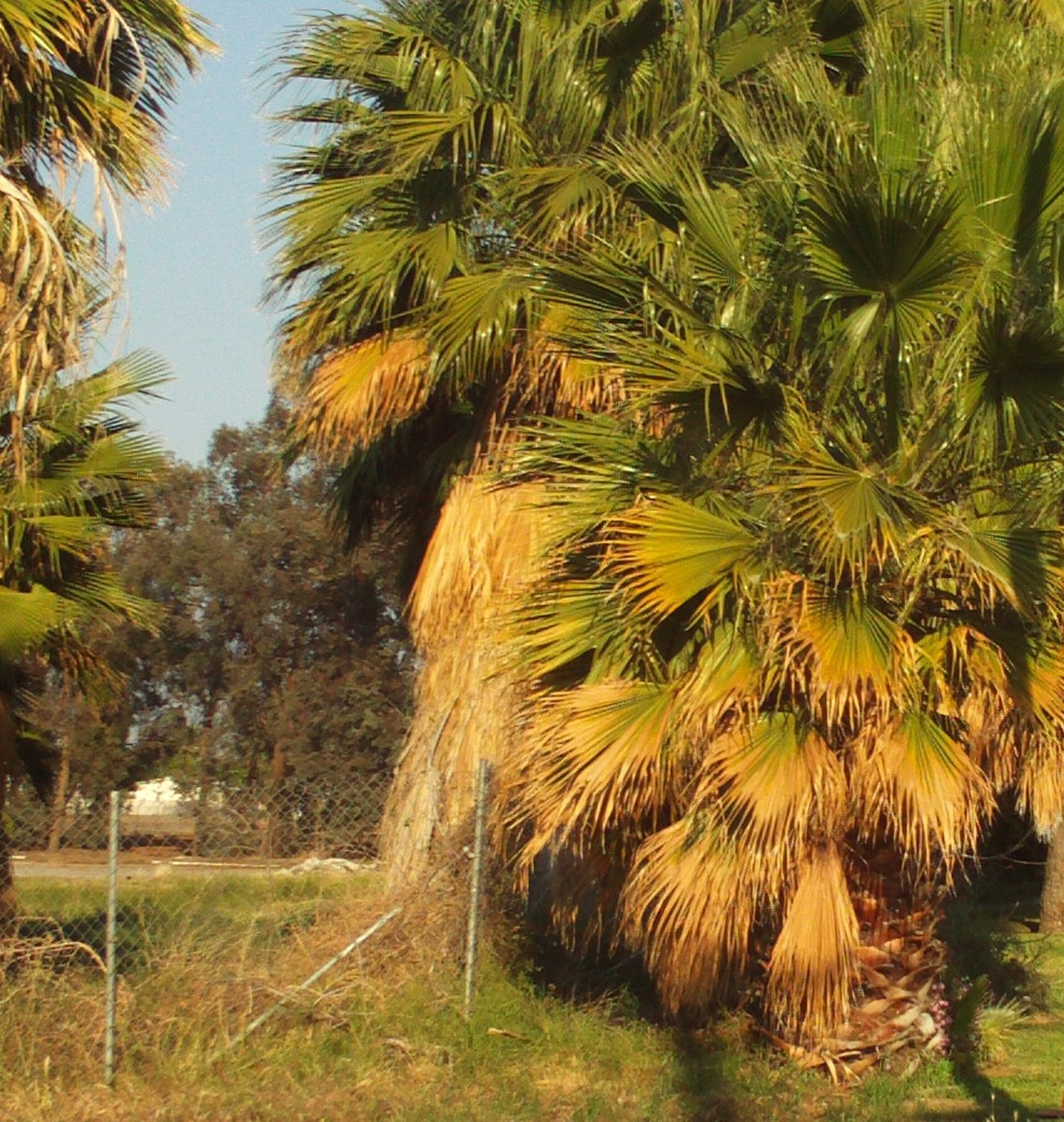 Washingtonian palm trees in Southern California.