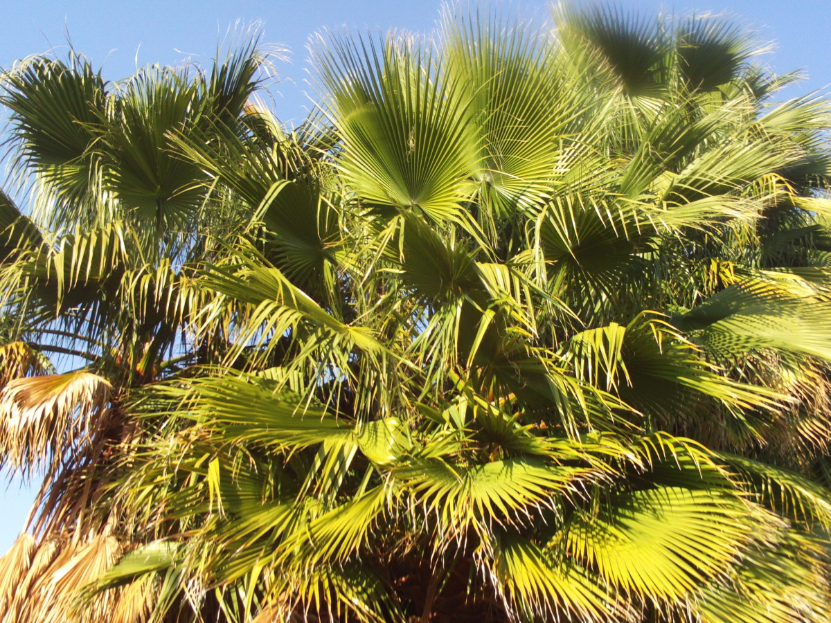 The mighty  fronds of the palm tree.