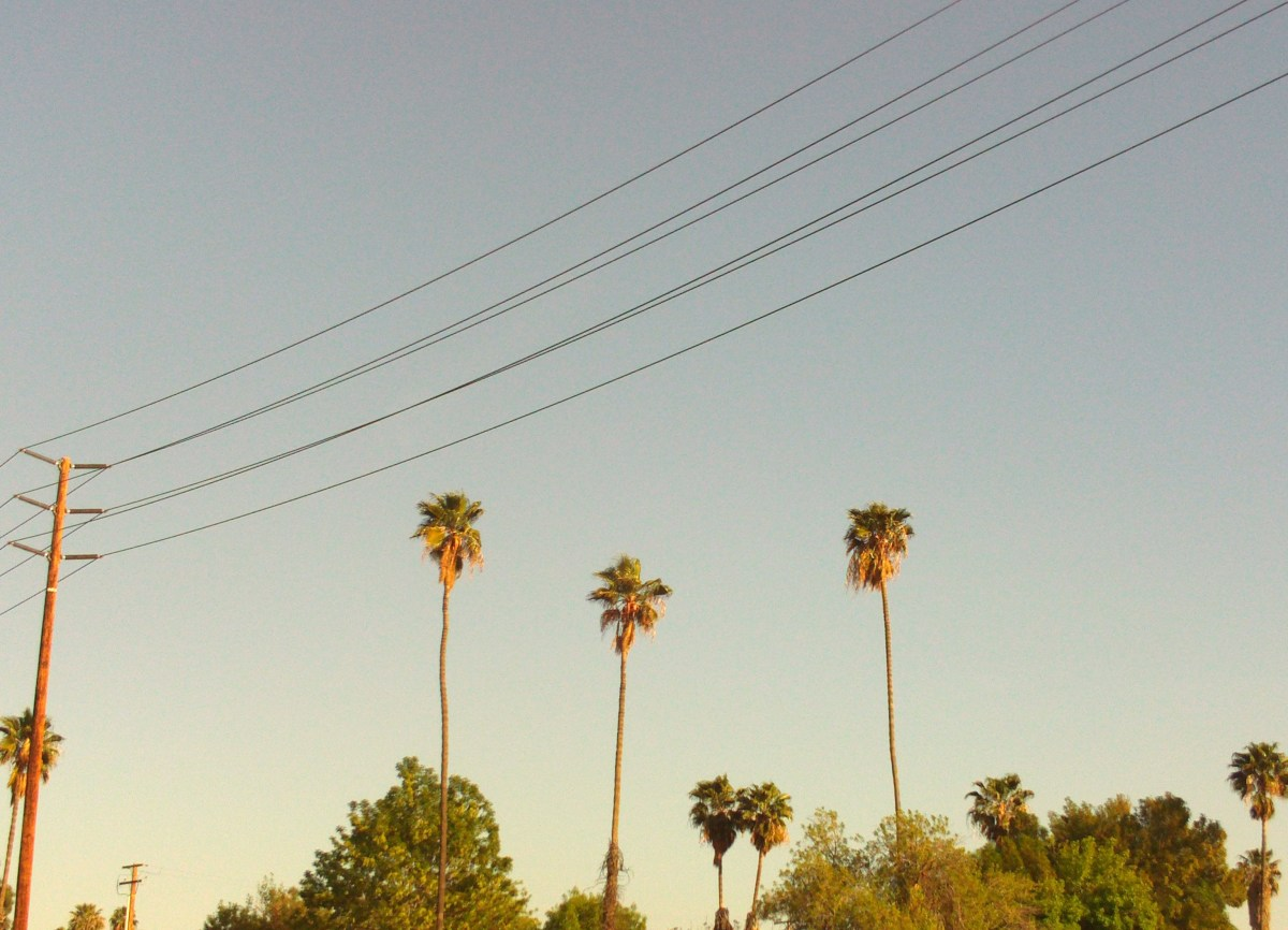 Three palm trees all standing together.
