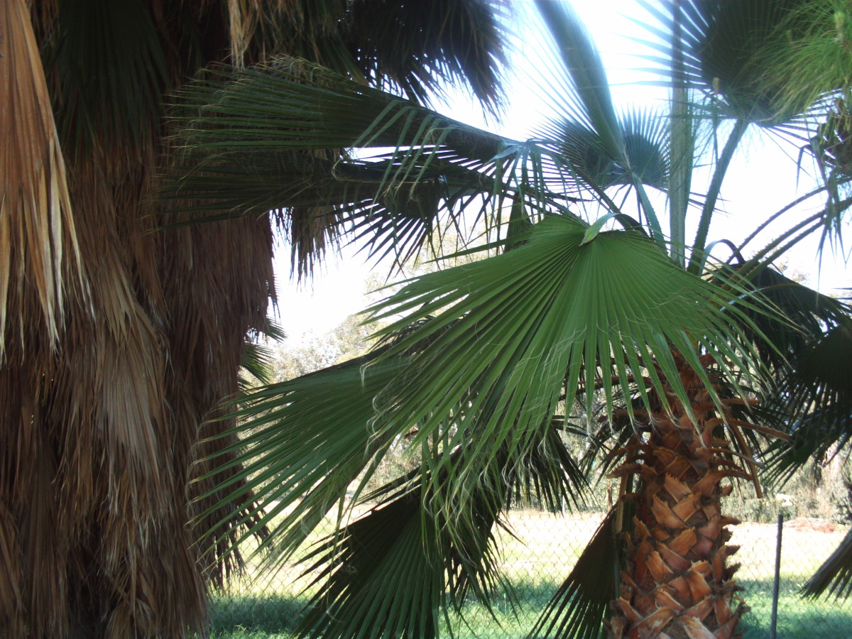 A smaller Washingtonian palm tree.