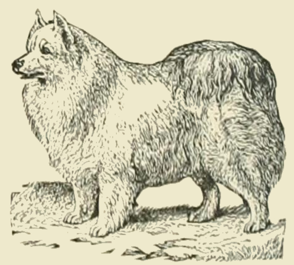 A Pomeranian, bred in the Pomerania Region in Central Europe: North Poland - East Germany.