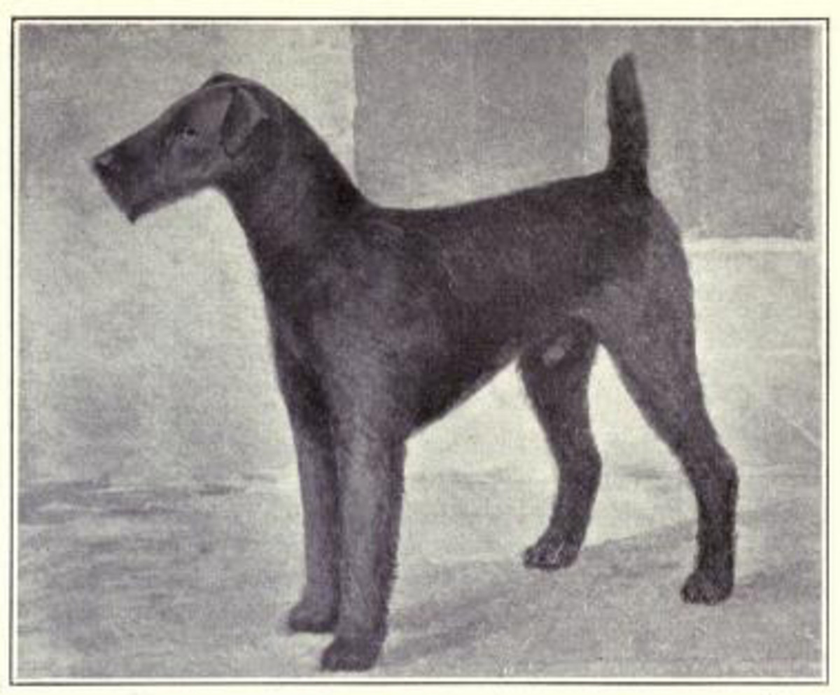 A typical Airedale dog in 1915, much like Kitty, who belonged to Titanic's passengrer John Jacob Astor.
