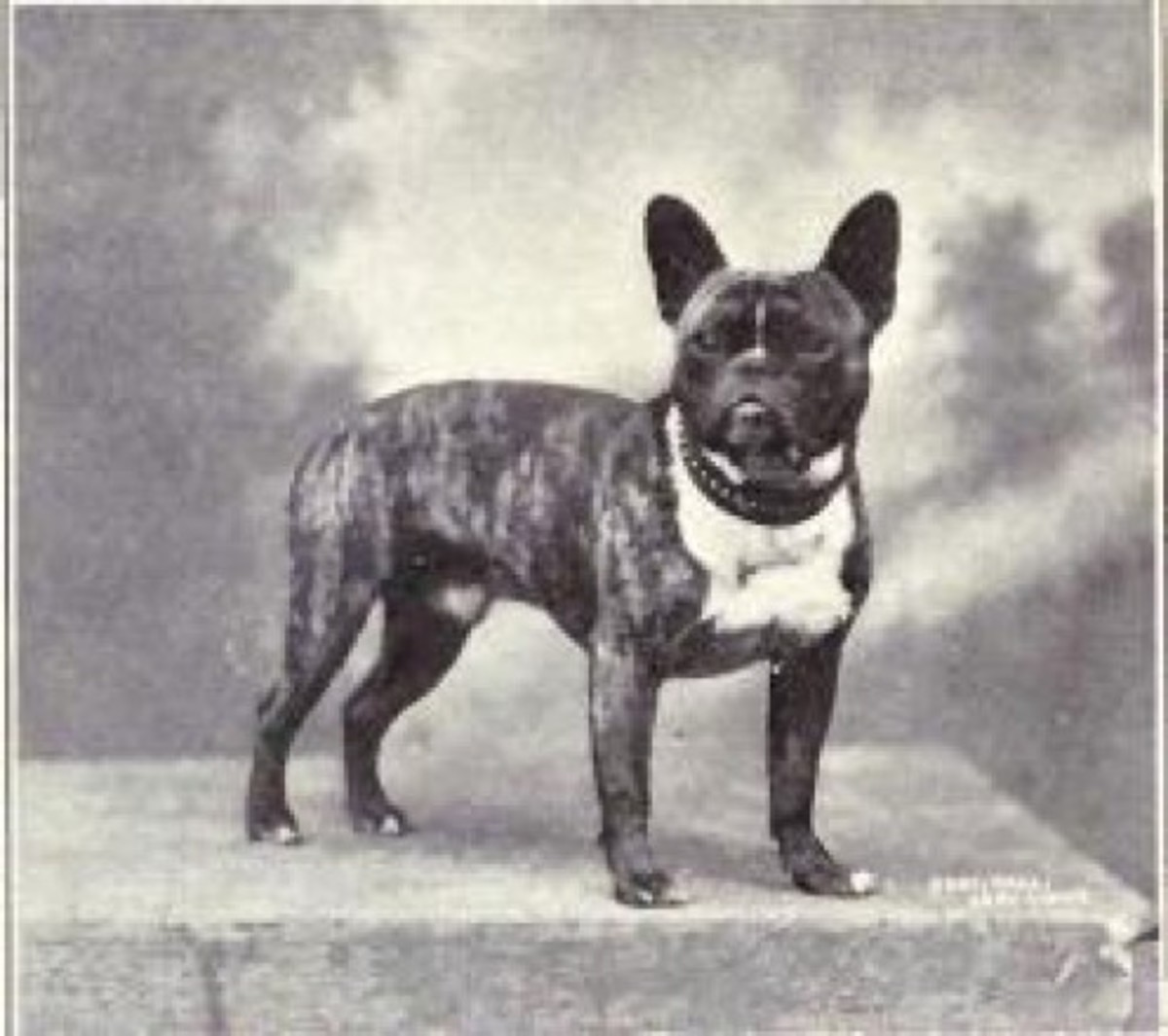 A French Bulldog in 1915.