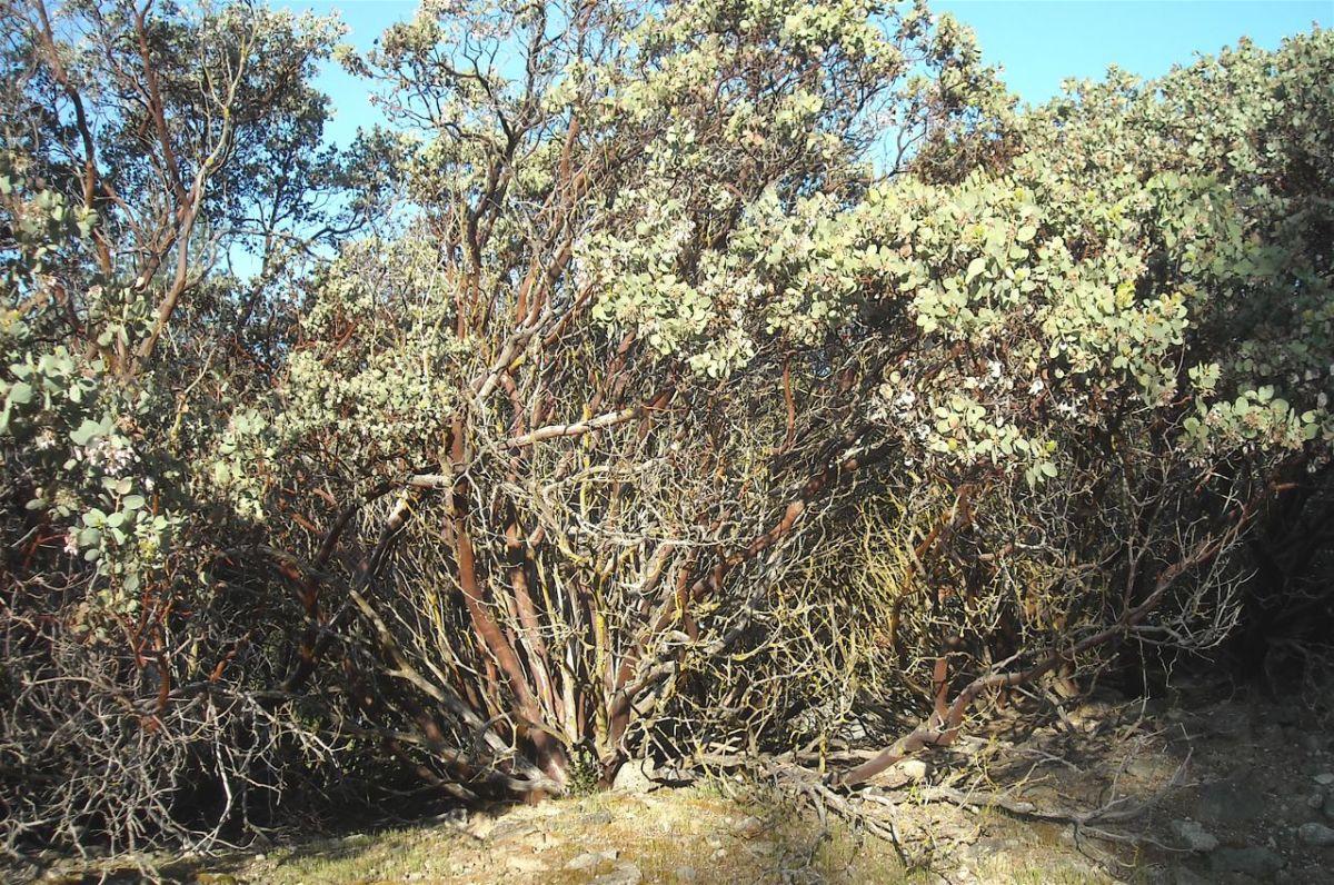 Manzanita thicket.
