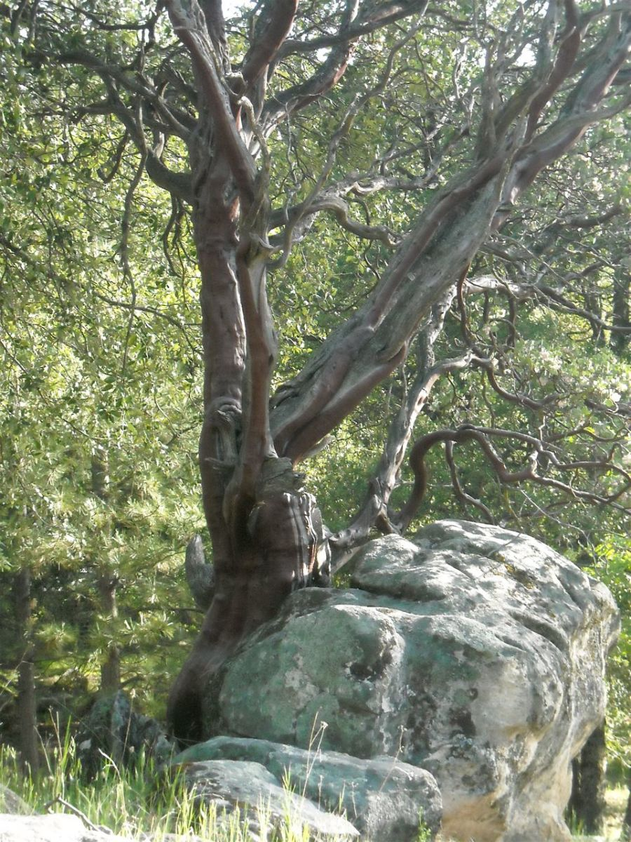 Mature Manzanita tree embraces a large boulder. Rich soil is not required for this rugged survivor, but good drainage is important.
