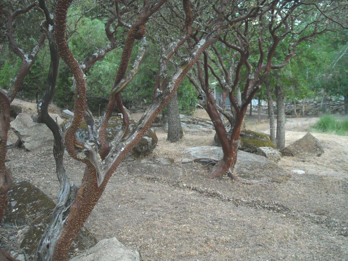 manzanita-the-miracle-tree