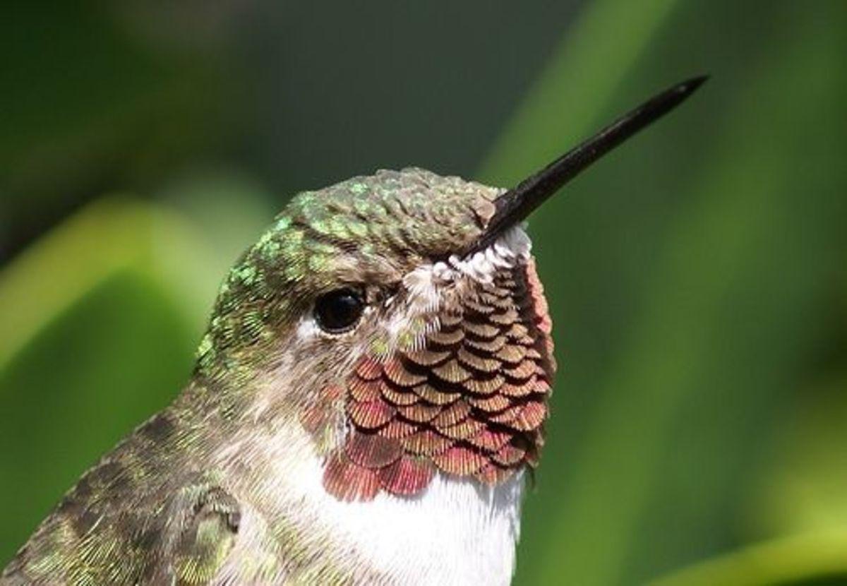 hummingbird-food-recipes-2